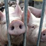 Россия заблокировала создание арбитража по спору с ЕС из-за свинины :: Политика :: РБК